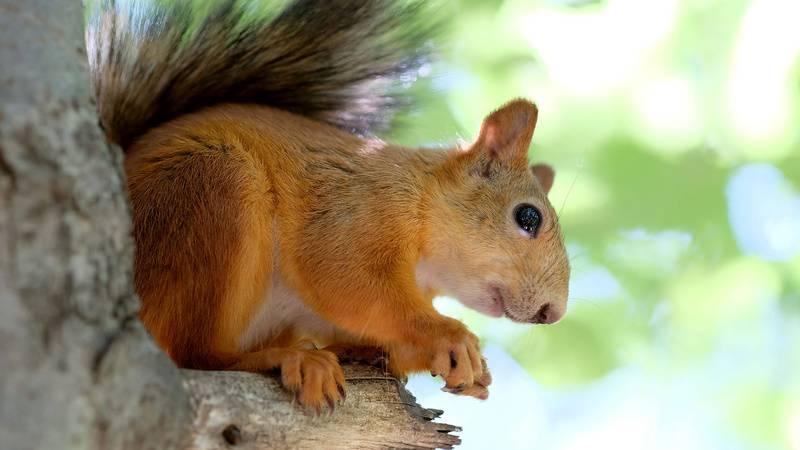 Squirrel in the tree, hotel gex, La Mainaz.