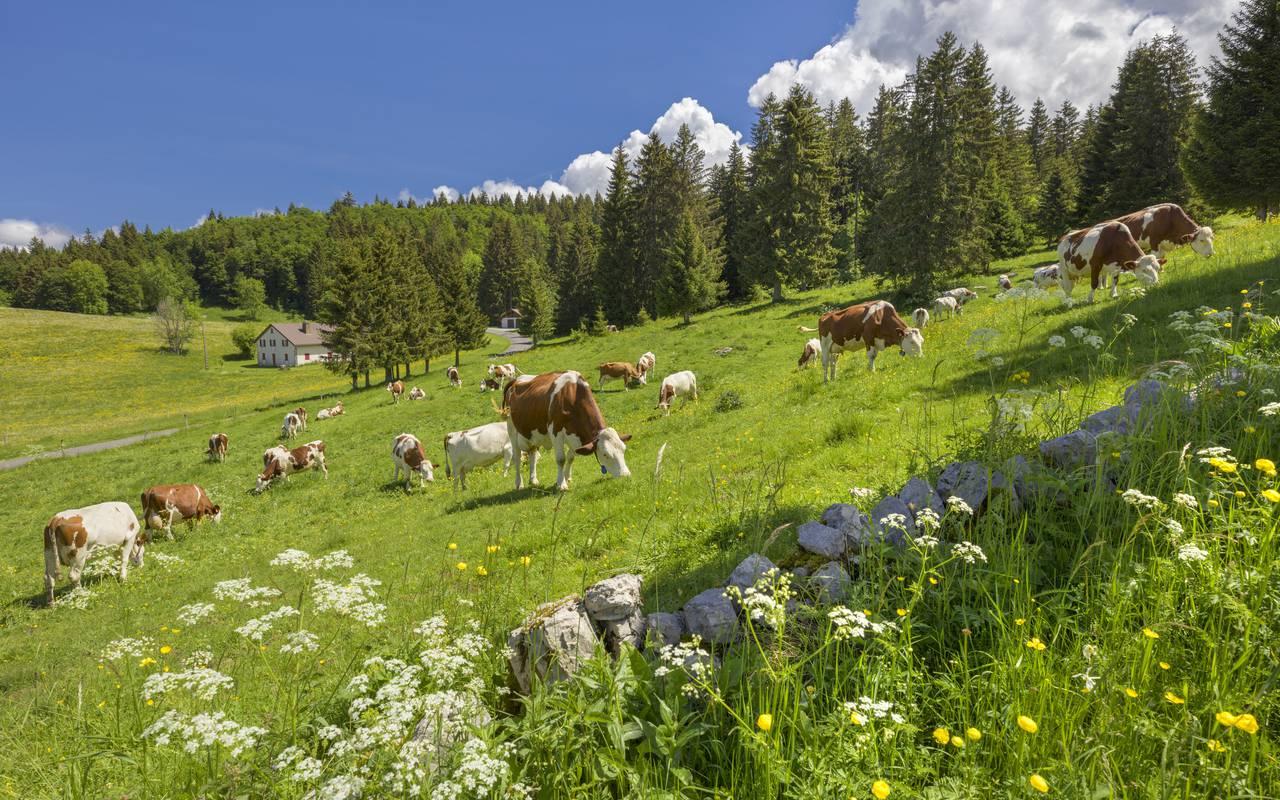 Plaine avec vaches, hôtel 4 étoiles Jura La Mainaz